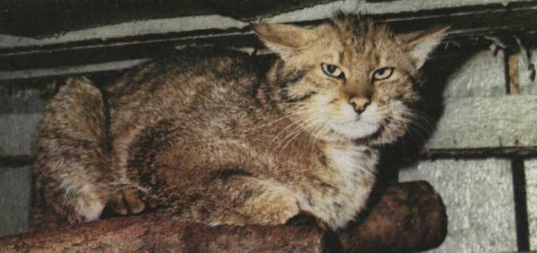 Кіт лісовий середньоєвропейський